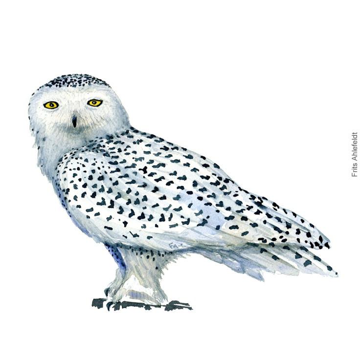 Sneugle - Snowy owl - Bird watercolor painting. Artwork by Frits Ahlefeldt. Fugle akvarel