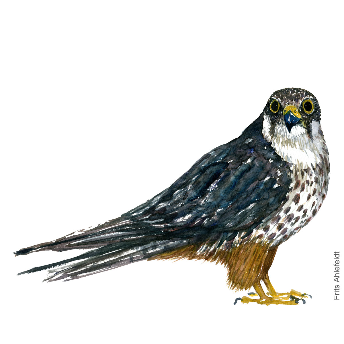 Laerkefalk Hobby - Bird painting in watercolor by Frits Ahlefeldt - Fugle akvarel