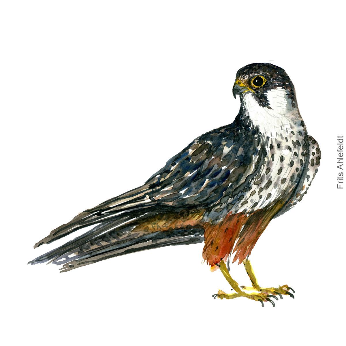 Laerkefalk - Hobby - Bird painting in watercolor by Frits Ahlefeldt - Fugle akvarel
