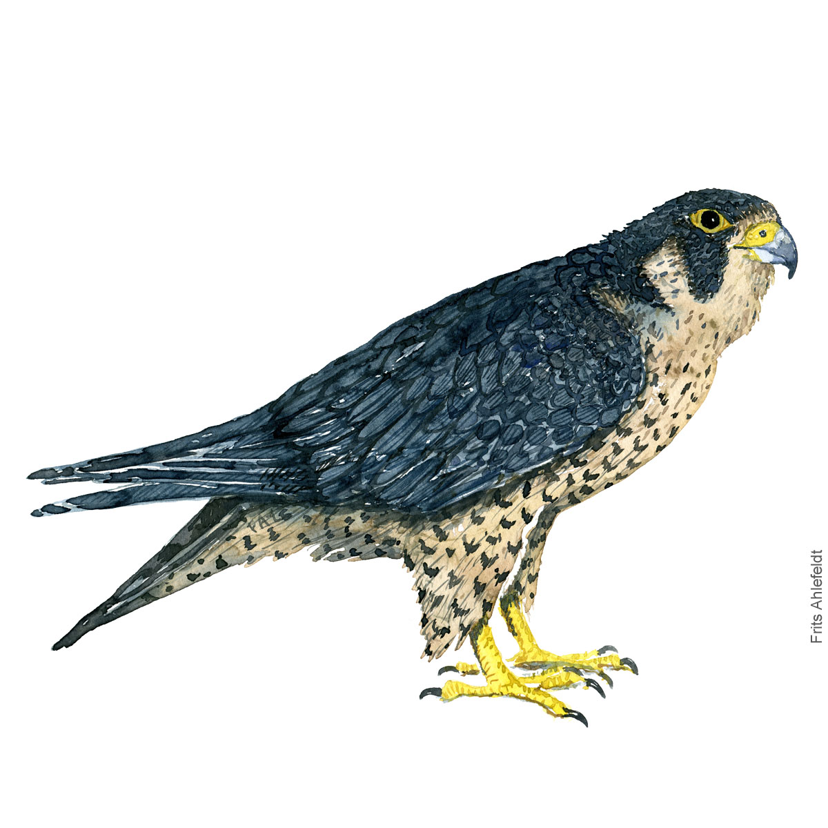 Vandrefalk - Peregrine falcon - Bird painting in watercolor by Frits Ahlefeldt - Fugle akvarel