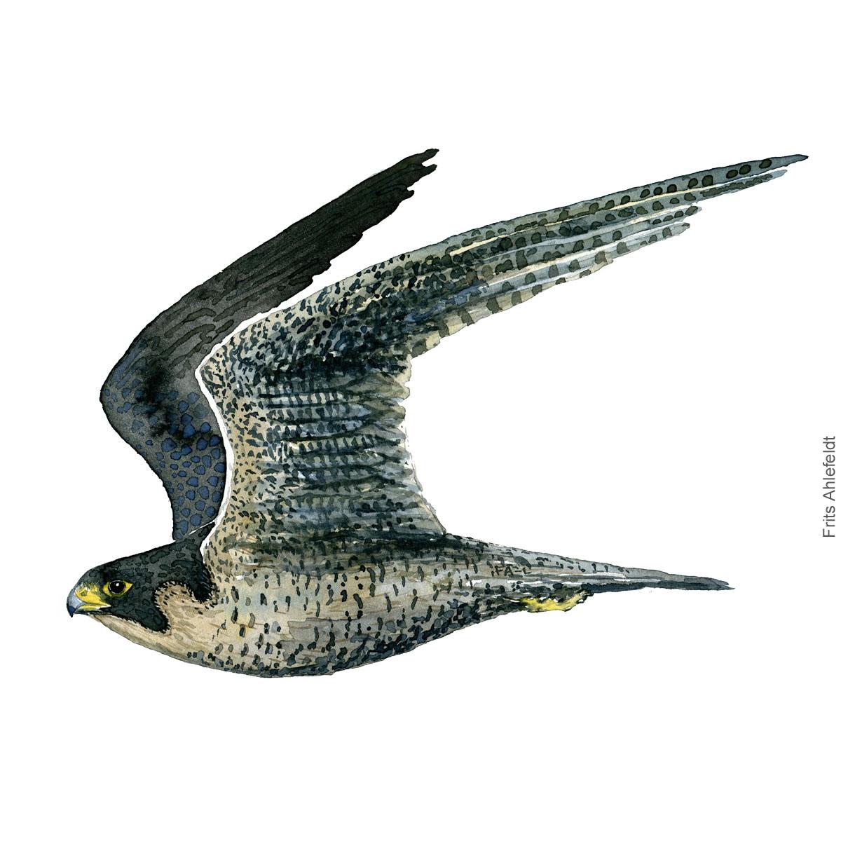 Vandrefalk - Peregrine falcon - Bird painting in watercolor by Frits Ahlefeldt - Fugle akvarel