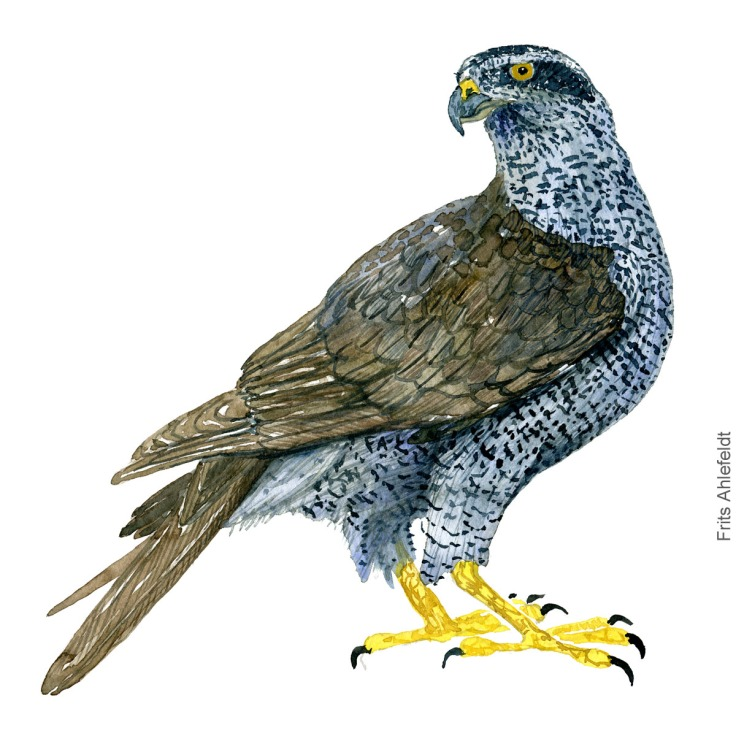 Duehoeg - Northern goshawk - Bird painting in watercolor by Frits Ahlefeldt - Fugle akvarel