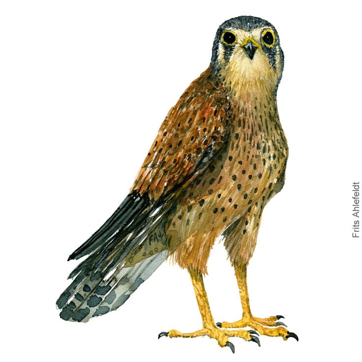 Taarnfalk - Kestrel - Bird painting in watercolor by Frits Ahlefeldt - Fugle akvarel