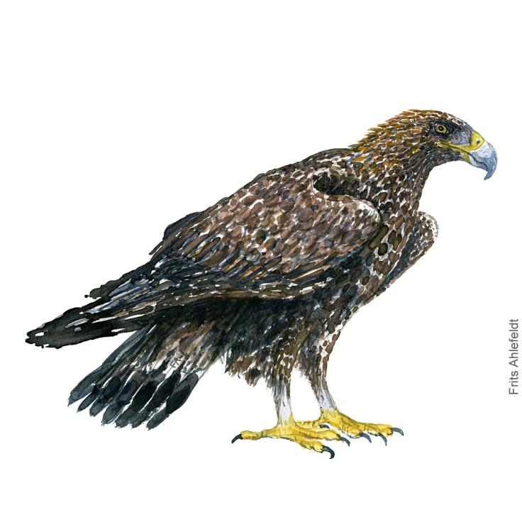 Kongeaern - Golden eagle - Bird painting in watercolor by Frits Ahlefeldt - Fugle akvarel