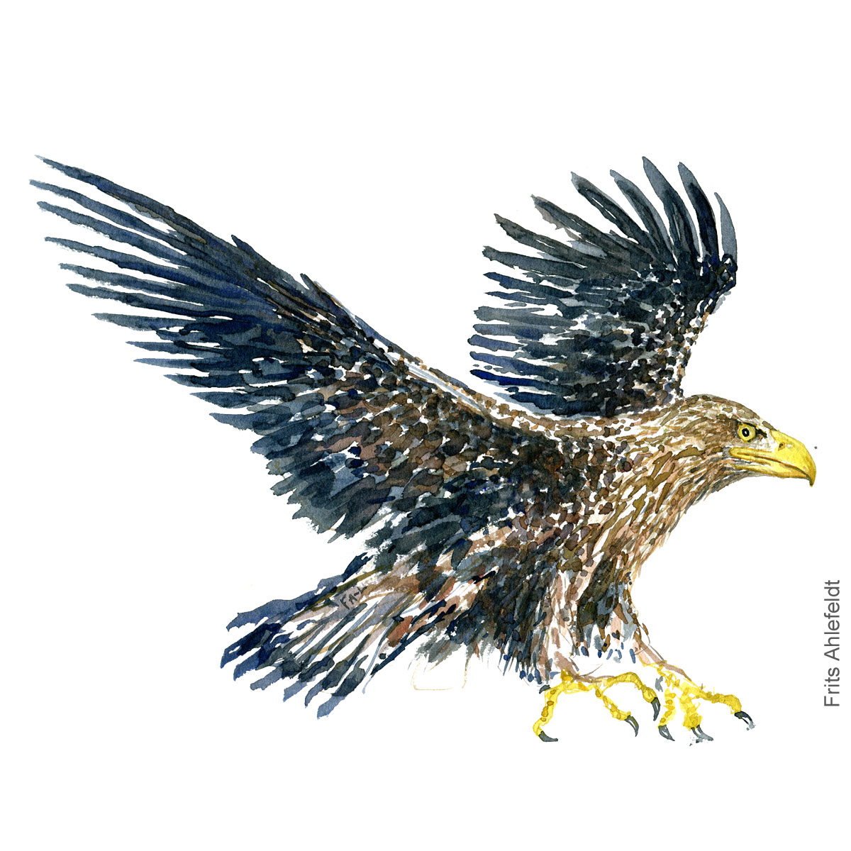 Havoern - White-tailed eagle - Bird painting in watercolor by Frits Ahlefeldt - Fugle akvarel
