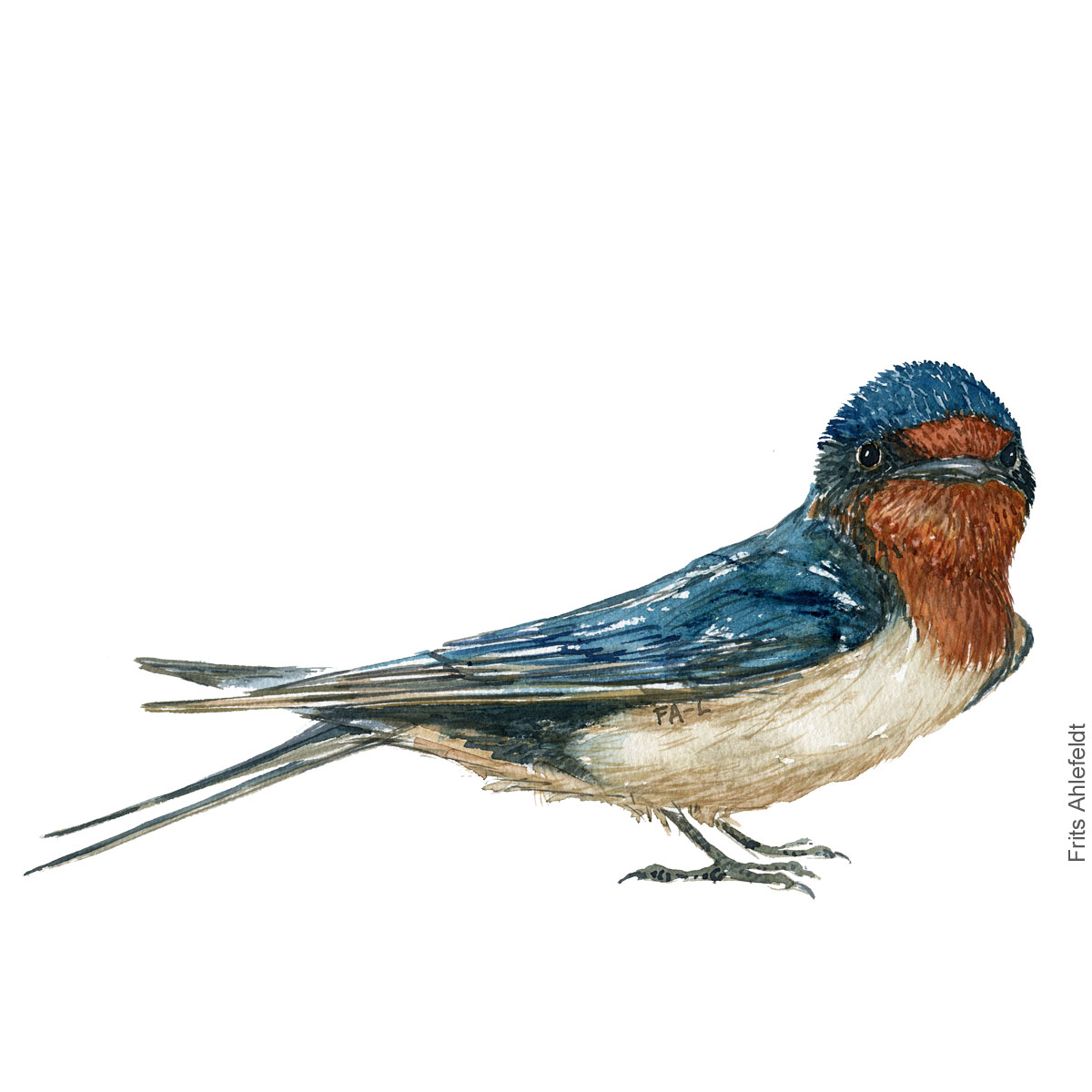 Landsvale - Barn swallow - Bird painting in watercolor by Frits Ahlefeldt - Fugle akvarel