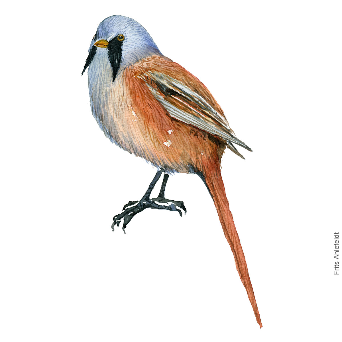Skaegmejse - Bearded reedling - Bird painting in watercolor by Frits Ahlefeldt - Fugle akvarel