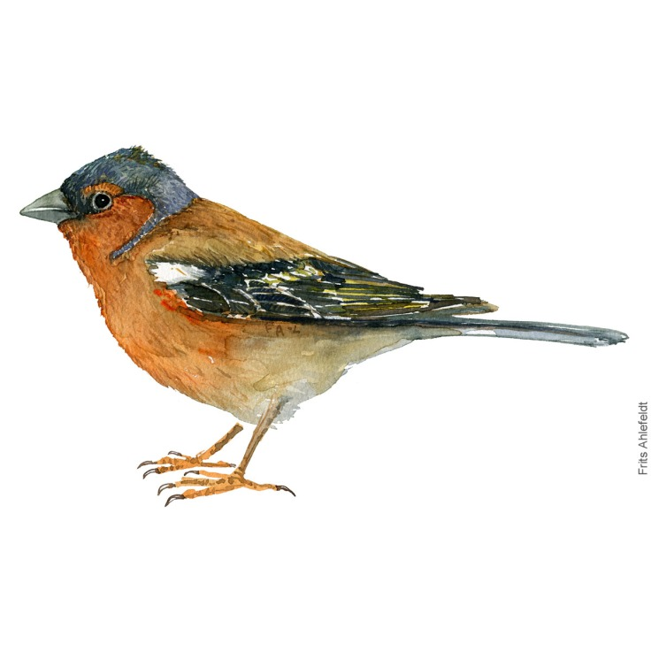 Bogfinke - Common chaffinch - Bird painting in watercolor by Frits Ahlefeldt - Fugle akvarel