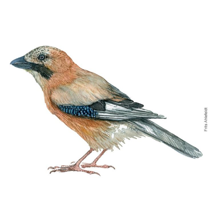 Skovskade - Eurasian Jay - Bird painting in watercolor by Frits Ahlefeldt - Fugle akvarel