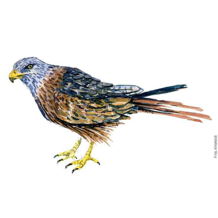 Roed glente - Red kite - Bird painting in watercolor by Frits Ahlefeldt - Fugle akvarel