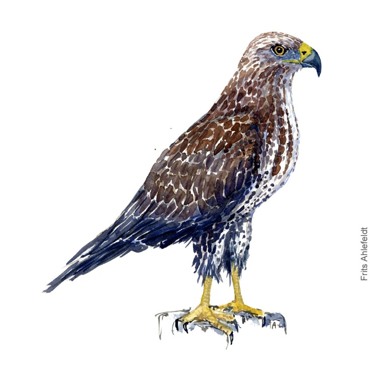 Musvaage - Buzzard - Bird painting in watercolor by Frits Ahlefeldt - Fugle akvarel
