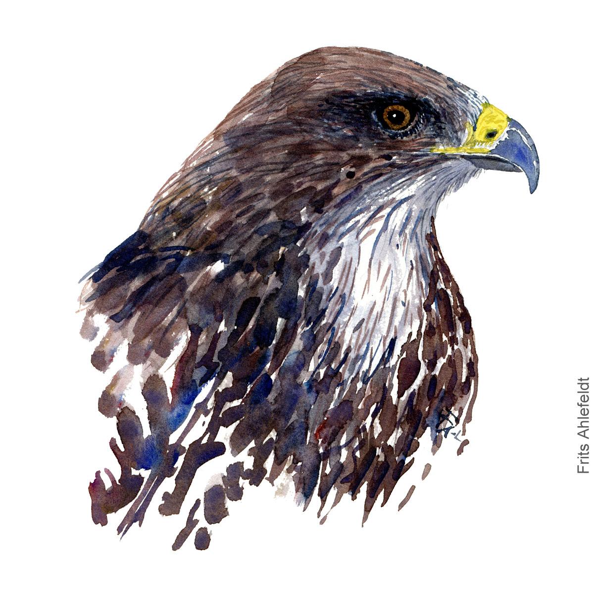 Musvaage - Buzzard head - Bird painting in watercolor by Frits Ahlefeldt - Fugle akvarel