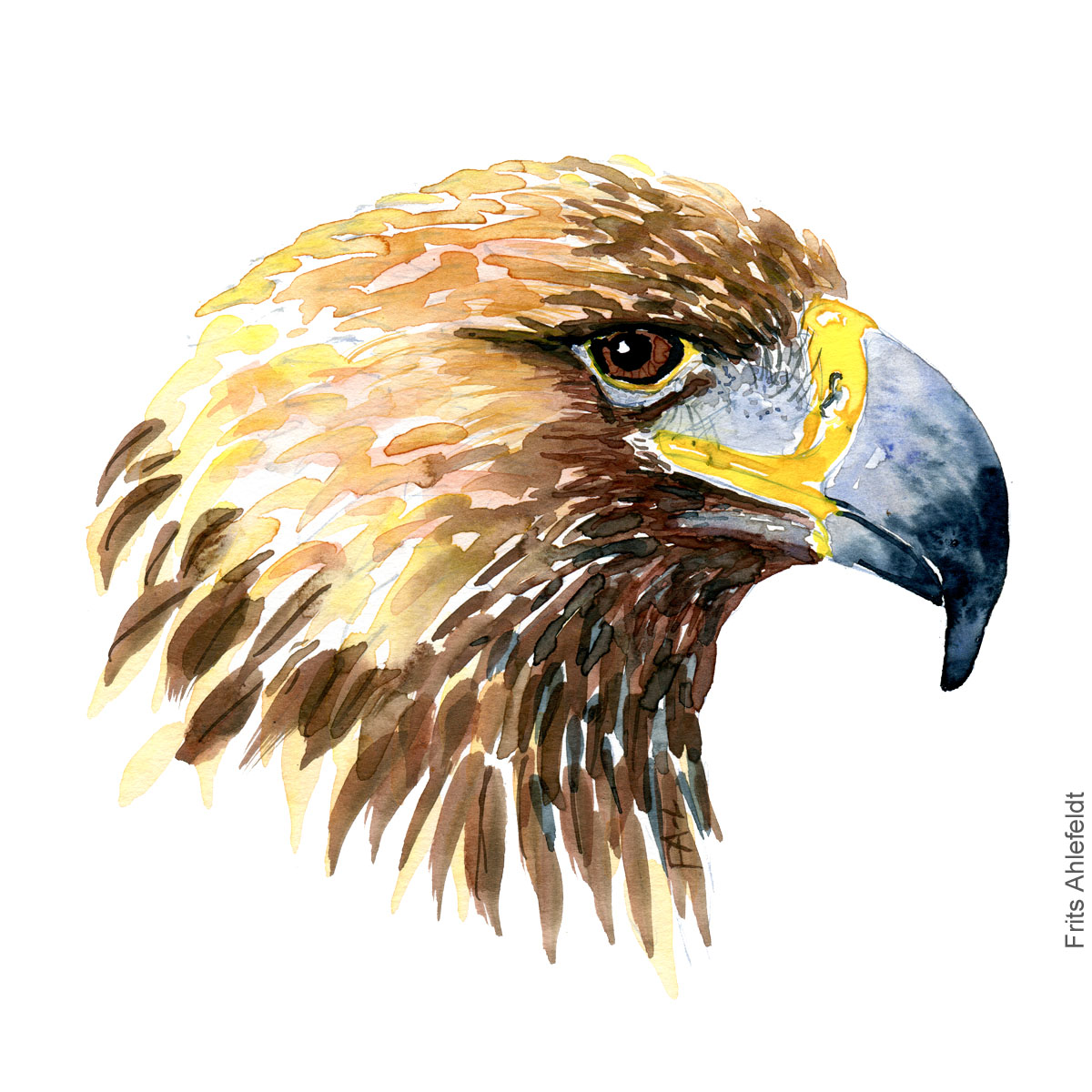 Kongeoern - Golden eagle head - Bird painting in watercolor by Frits Ahlefeldt - Fugle akvarel