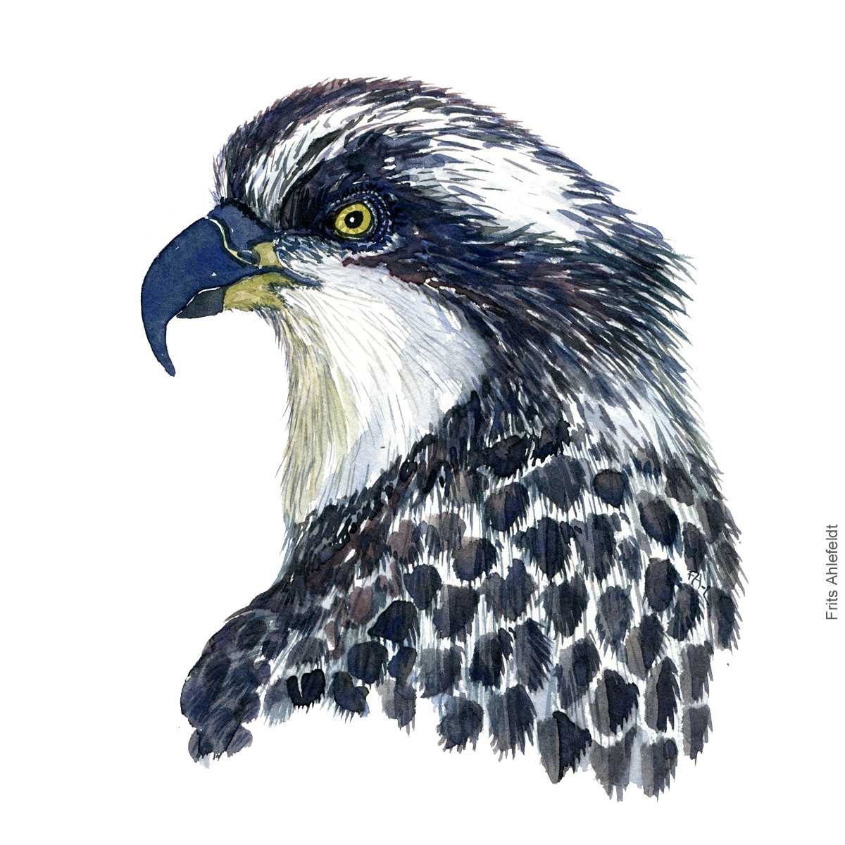 Fiskeoern - Osprey eagle head - Bird painting in watercolor by Frits Ahlefeldt - Fugle akvarel