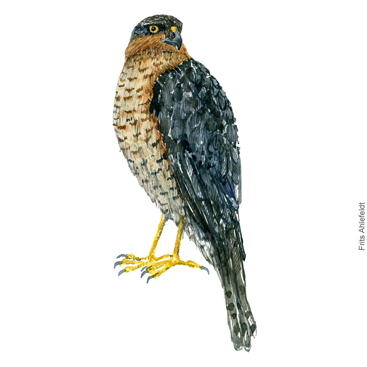 Spurvehoeg - Eurasian sparrow hawk - Bird painting in watercolor by Frits Ahlefeldt - Fugle akvarel