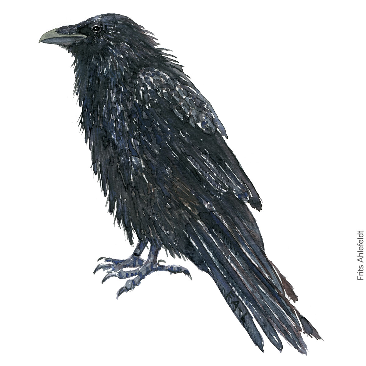 Ravn - Raven - Bird painting in watercolor by Frits Ahlefeldt - Fugle akvarel