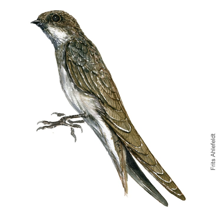 Digesvale - Sand martin - Bird painting in watercolor by Frits Ahlefeldt - Fugle akvarel
