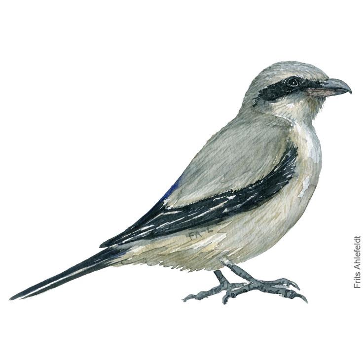 Stor tornskade - Great grey skrike - Bird painting in watercolor by Frits Ahlefeldt - Fugle akvarel