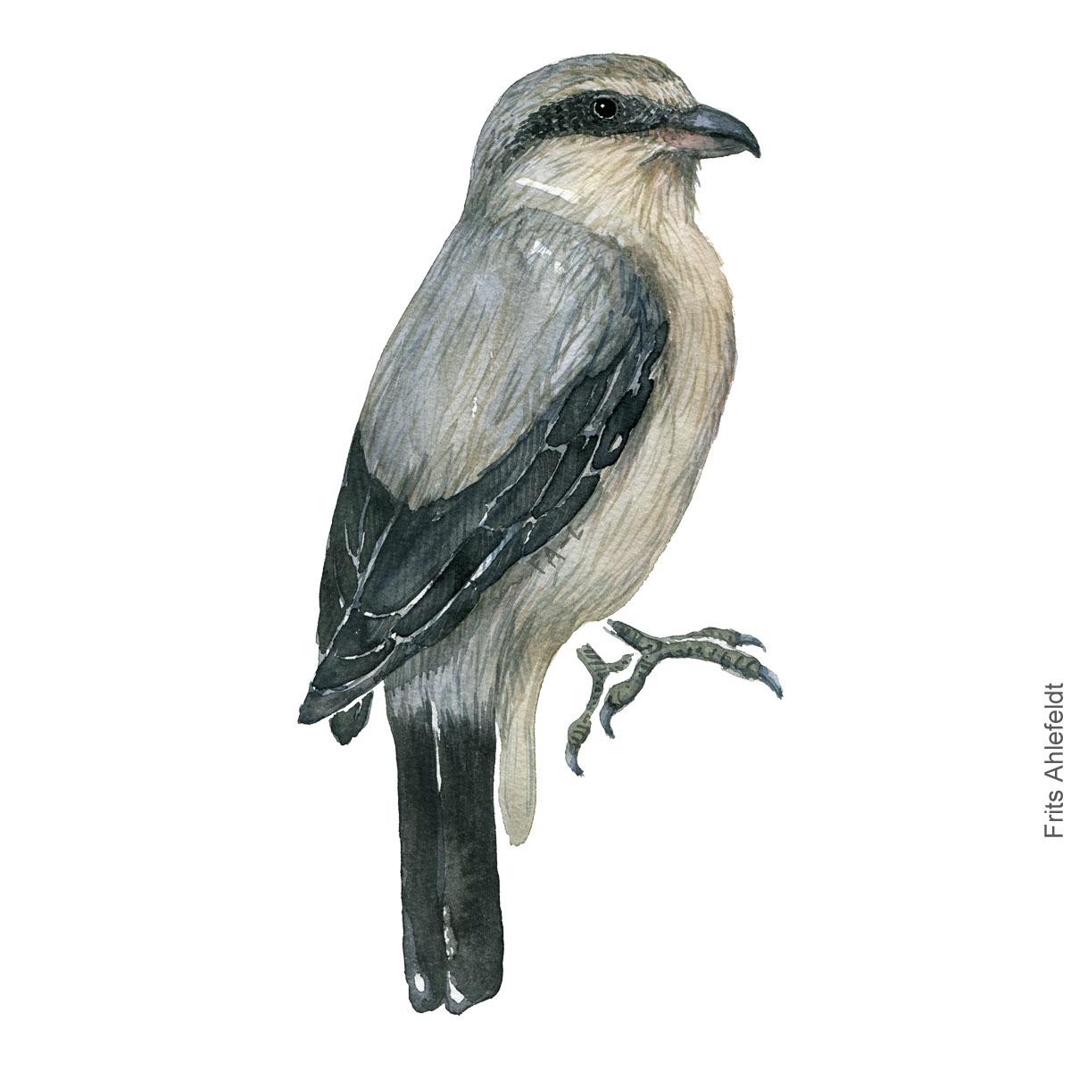 Stor tornskade - Great grey shrike - Bird painting in watercolor by Frits Ahlefeldt - Fugle akvarel