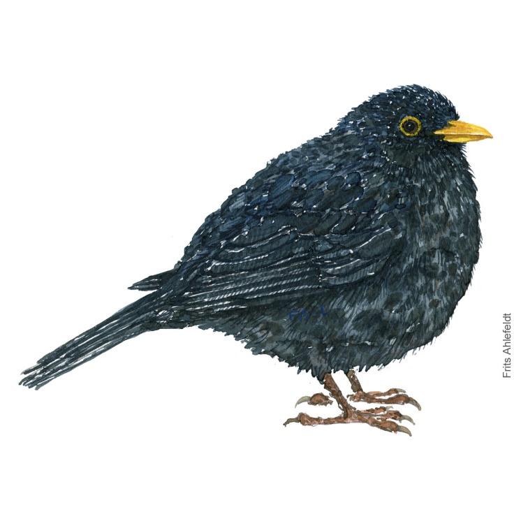 Solsort - Blackbird - Bird painting in watercolor by Frits Ahlefeldt - Fugle akvarel
