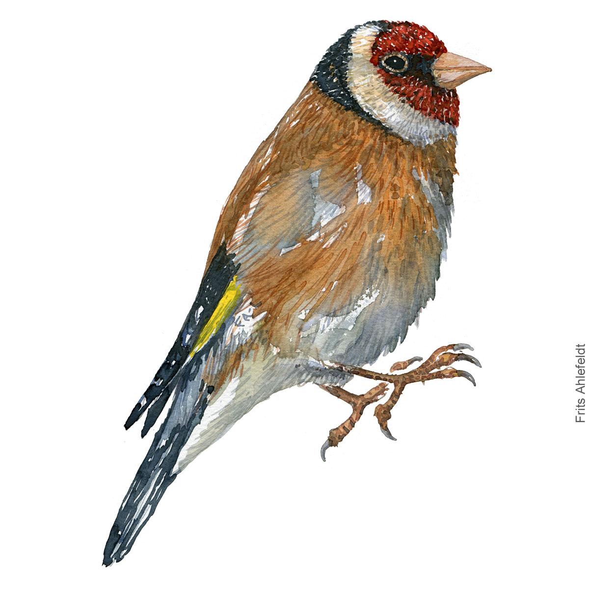 Stillits - European goldfinch - Bird painting in watercolor by Frits Ahlefeldt - Fugle akvarel