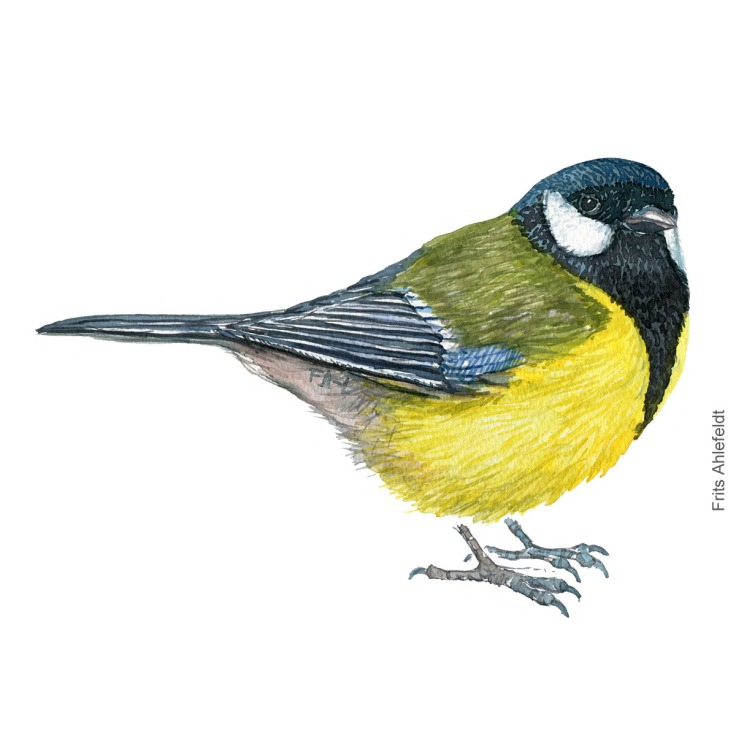 Musvit - Great tit - Bird painting in watercolor by Frits Ahlefeldt - Fugle akvarel