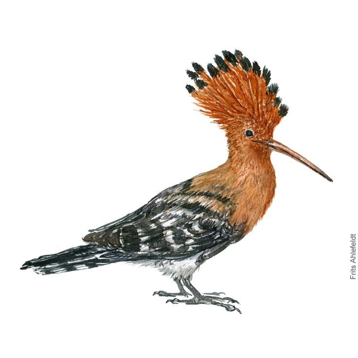 Haerfugl - Eurasian hoopoe - Bird painting in watercolor by Frits Ahlefeldt - Fugle akvarel