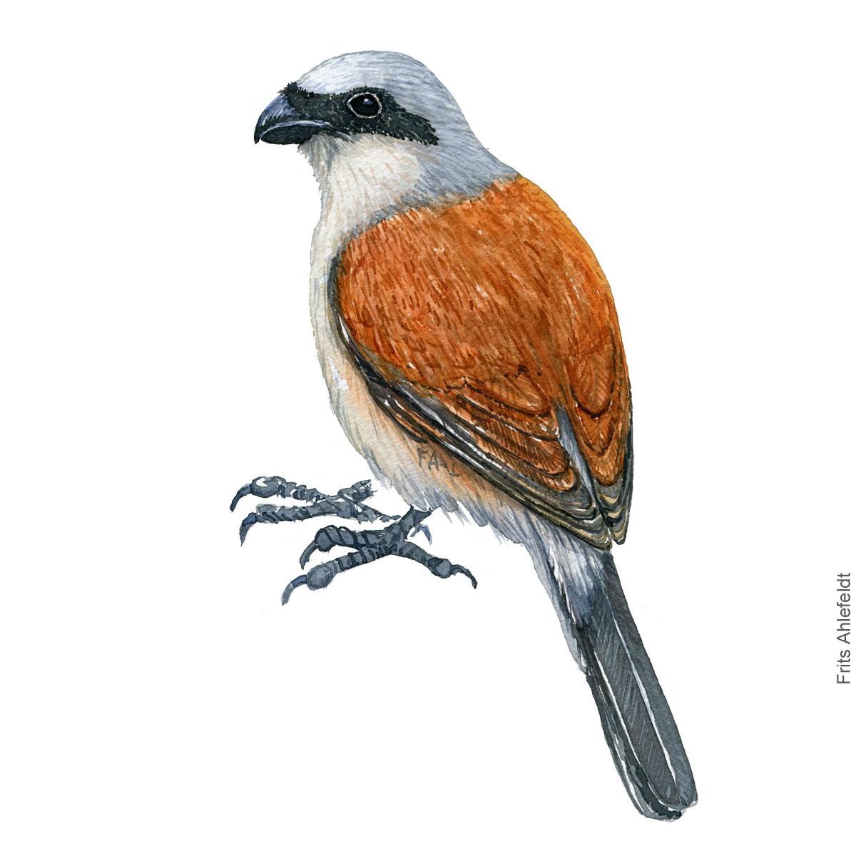 Roedrygget tornskade - Red-backed shrike - Bird painting in watercolor by Frits Ahlefeldt - Fugle akvarel