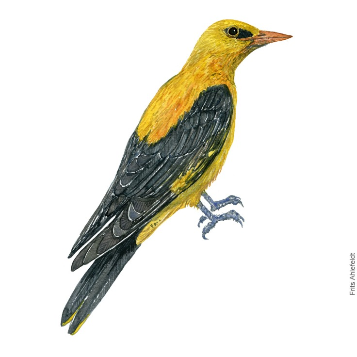 Pirol - Golden oriole - Bird painting in watercolor by Frits Ahlefeldt - Fugle akvarel