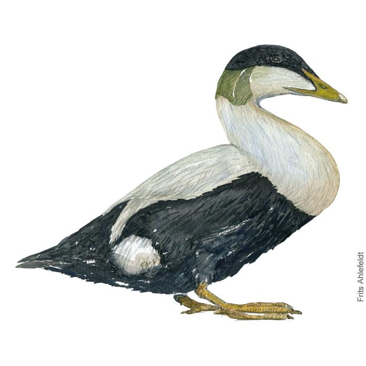 Edderfugl - Common eider duck - Bird painting in watercolor by Frits Ahlefeldt - Fugle akvarel