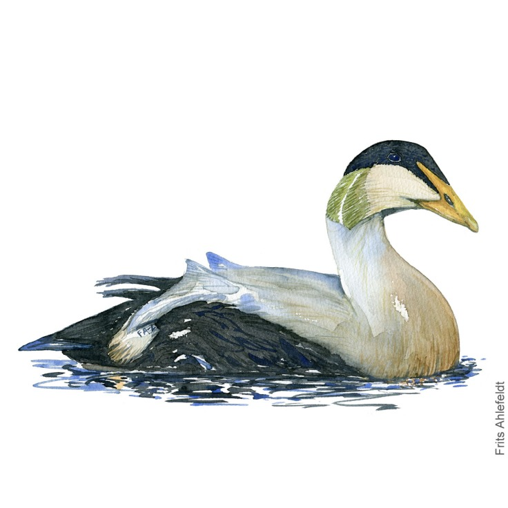 Edderfugl - Common eider duck - Bird painting in watercolor by Frits Ahlefeldt - Fugle akvarel