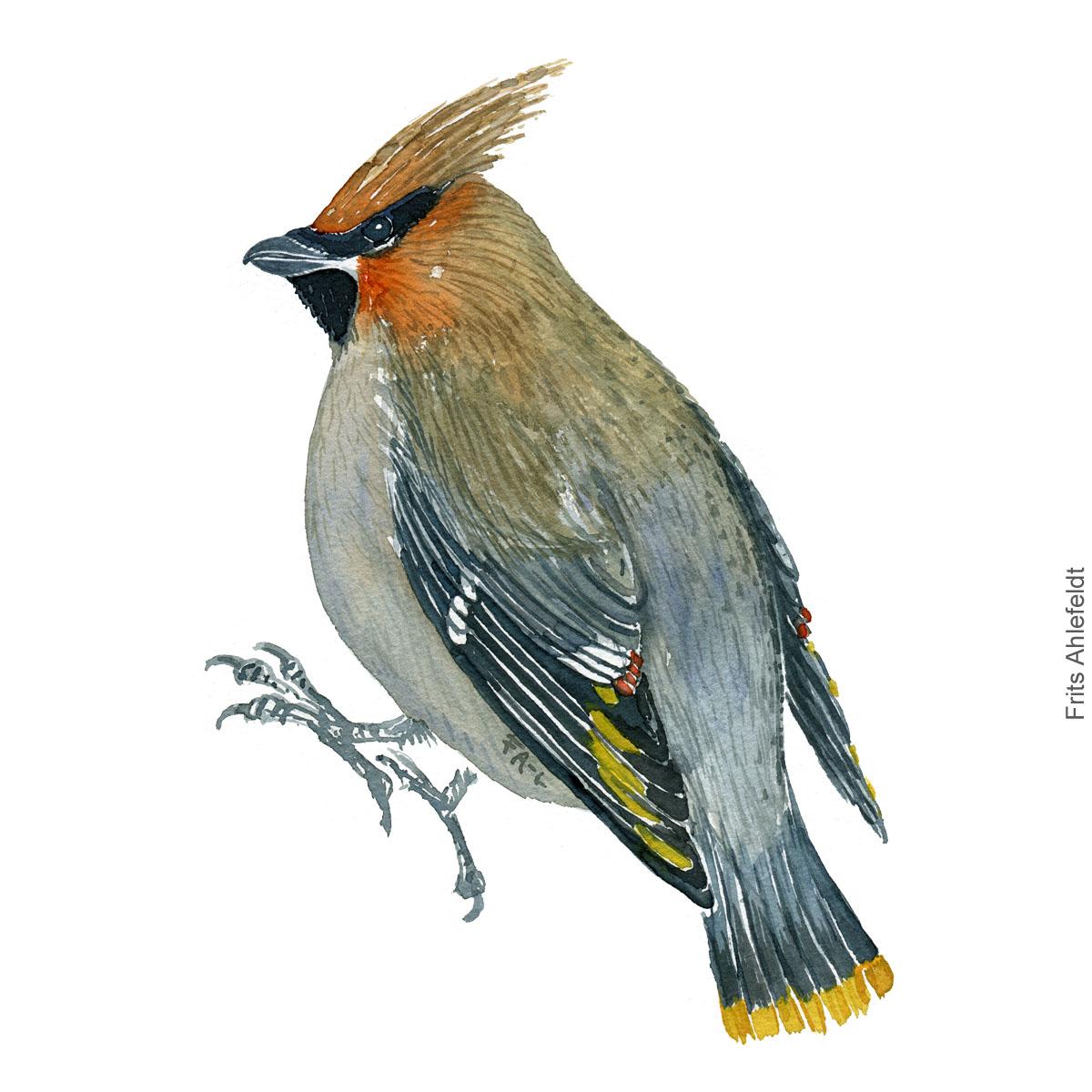 Silkehale - Bohemian waxwing - Bird painting in watercolor by Frits Ahlefeldt - Fugle akvarel
