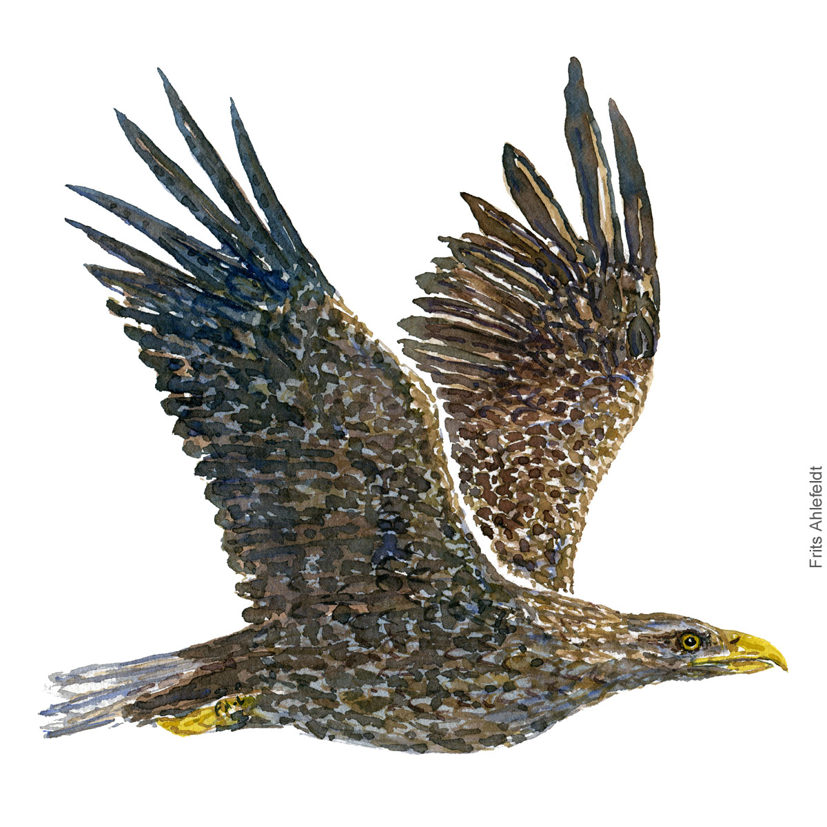 Flyvende havoern - Flying white-tailed eagle - Bird painting in watercolor by Frits Ahlefeldt - Fugle akvarel