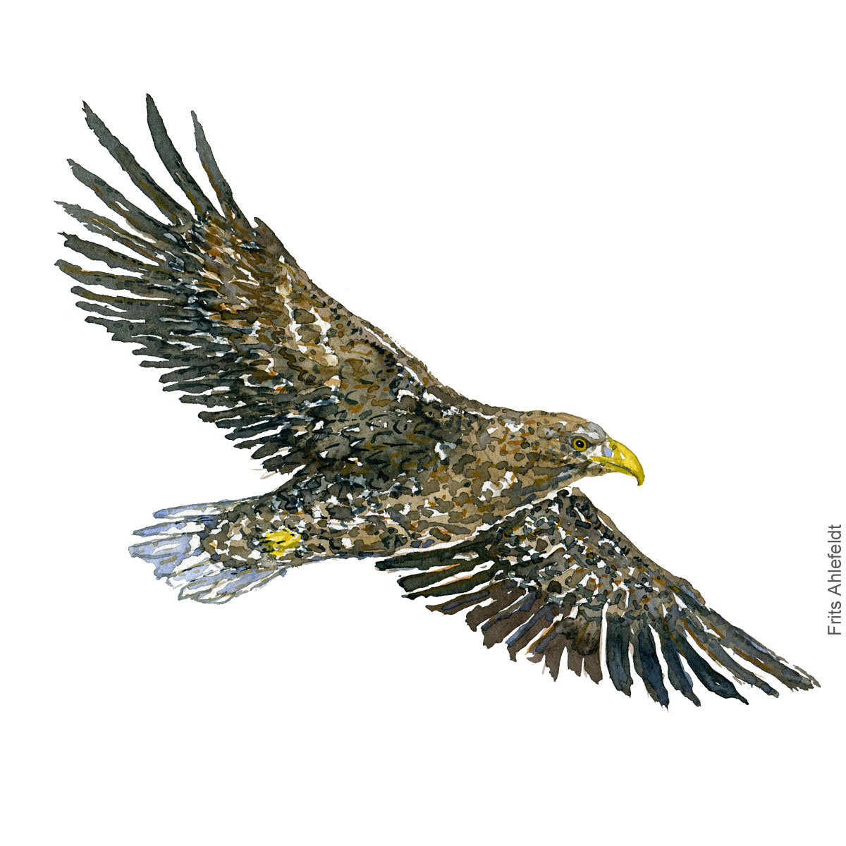 Flyvende havoern - Flying white tailed eagle - Bird painting in watercolor by Frits Ahlefeldt - Fugle akvarel