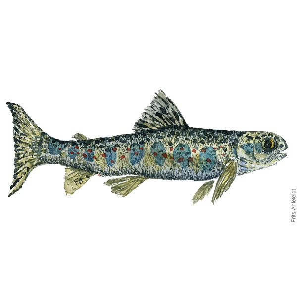 ung laks - young atlantic salmon Fish painting in watercolor by Frits Ahlefeldt - Fiske akvarel