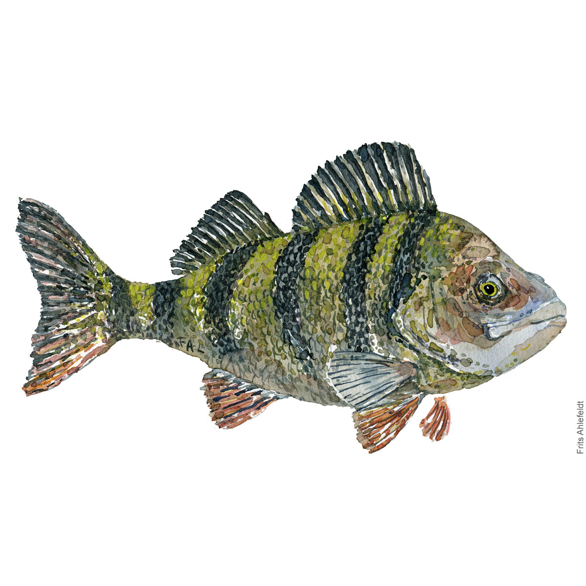 Aborre - Perch Fish painting in watercolor by Frits Ahlefeldt - Fiske akvarel