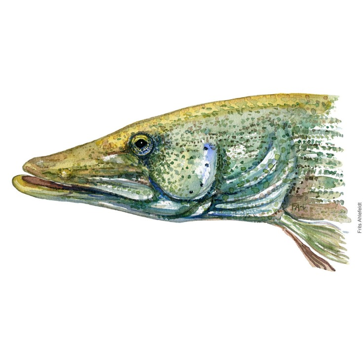 Gedde - Pike Fish painting in watercolor by Frits Ahlefeldt - Fiske akvarel