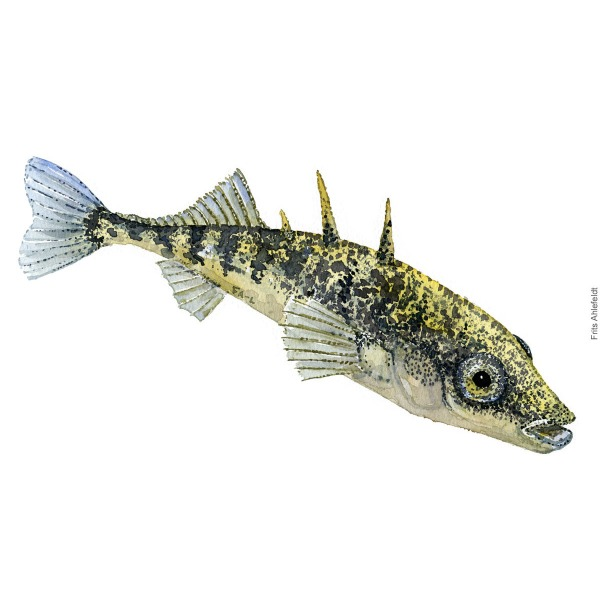 Trepigget hundestejle - Three-spinned stickleback -Fish painting in watercolor by Frits Ahlefeldt - Fiske akvarel