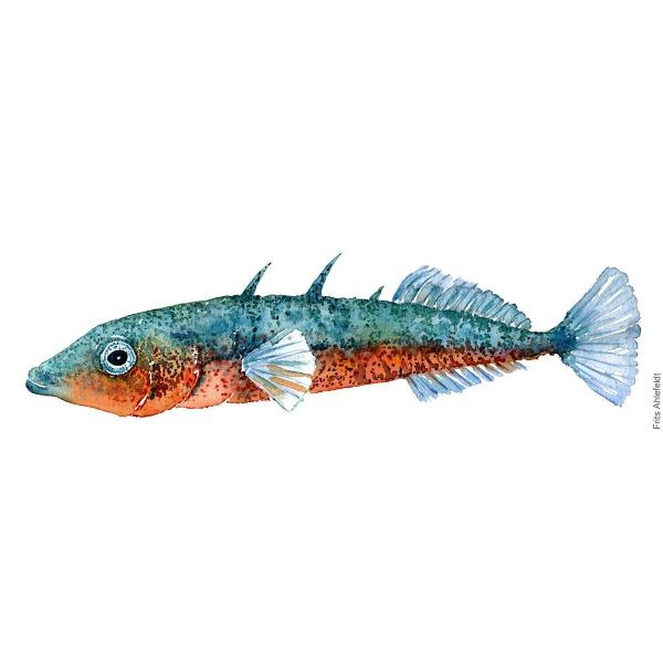 Trepigget hundestejle - Three-spinned stickleback Fish painting in watercolor by Frits Ahlefeldt - Fiske akvarel