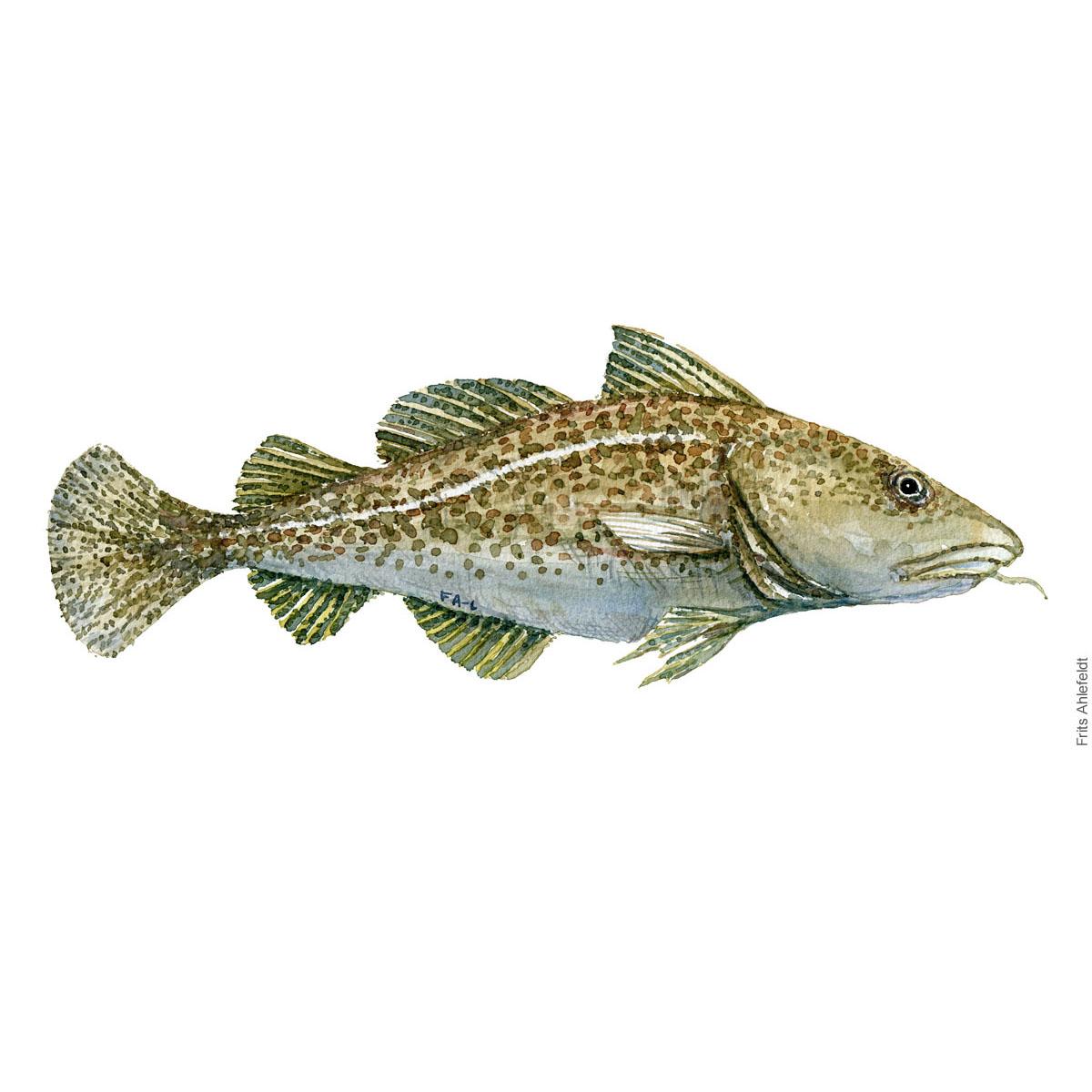 Torsk - Cod Fish painting in watercolor by Frits Ahlefeldt - Fiske akvarel