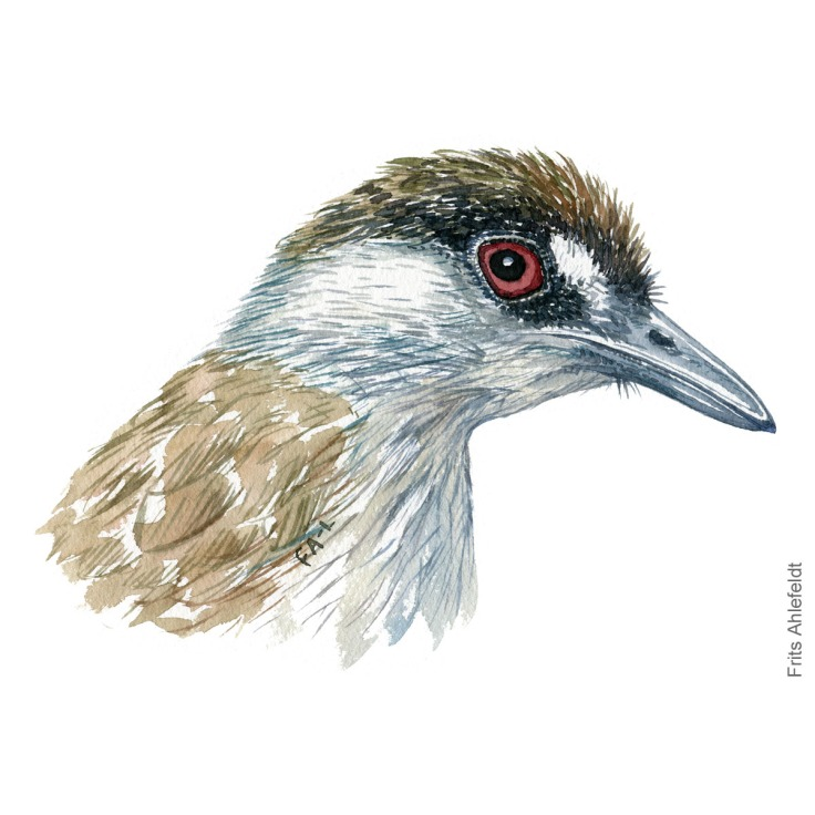 Black-browed babbler - Bird painting in watercolor by Frits Ahlefeldt - Fugle akvarel