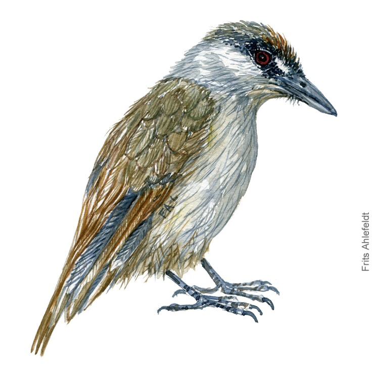Black browed babbler - Bird painting in watercolor by Frits Ahlefeldt - Fugle akvarel