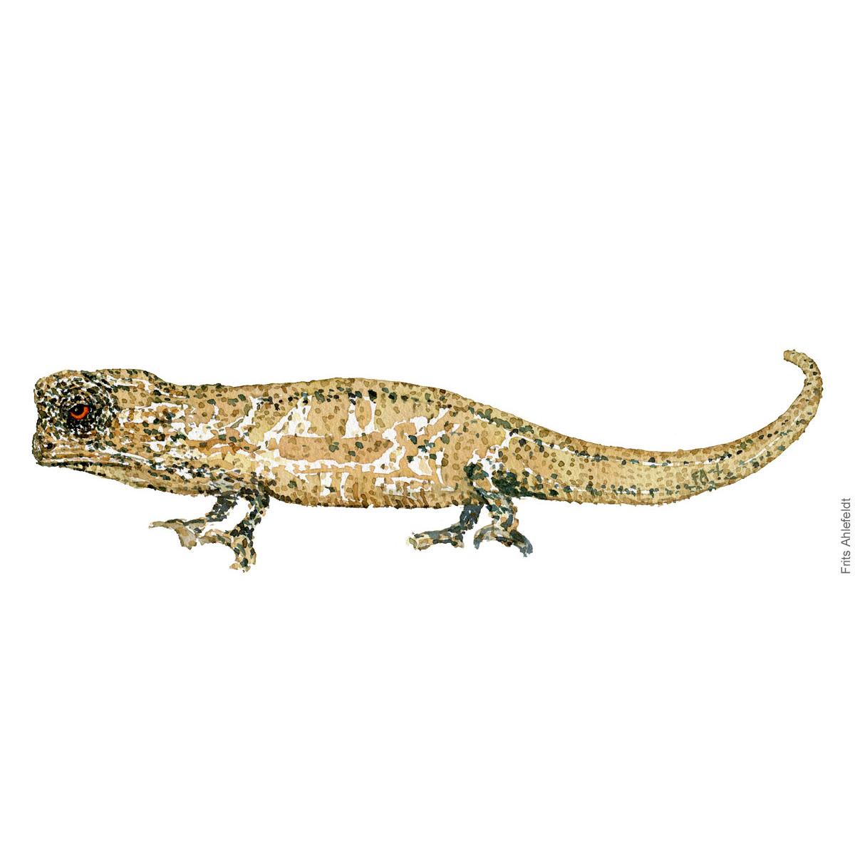 Dwarf chameleon - Watercolor by Frits Ahlefeldt