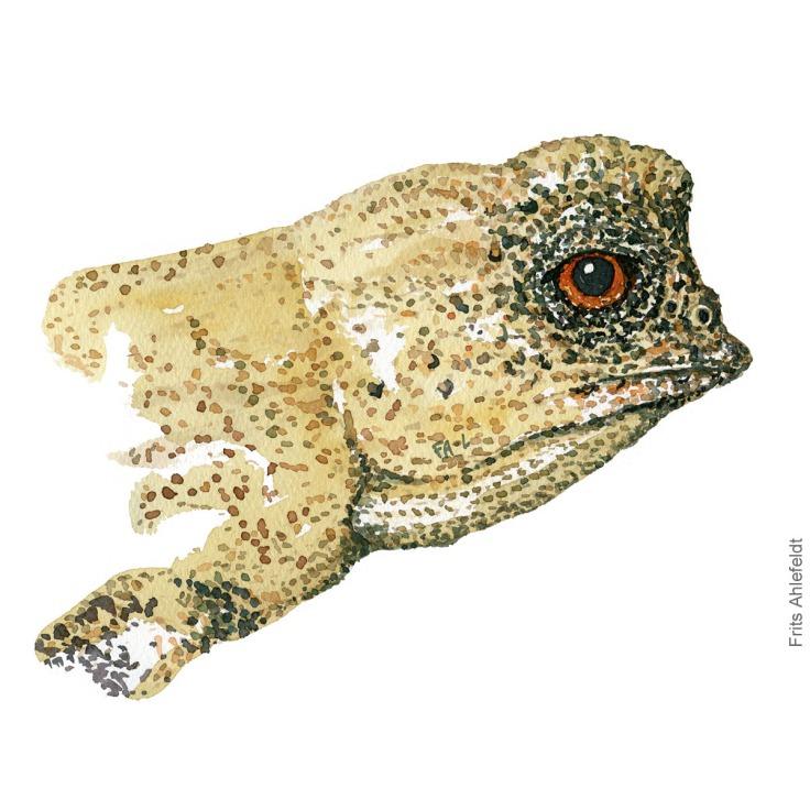 Dwarf chameleon Watercolor by Frits Ahlefeldt