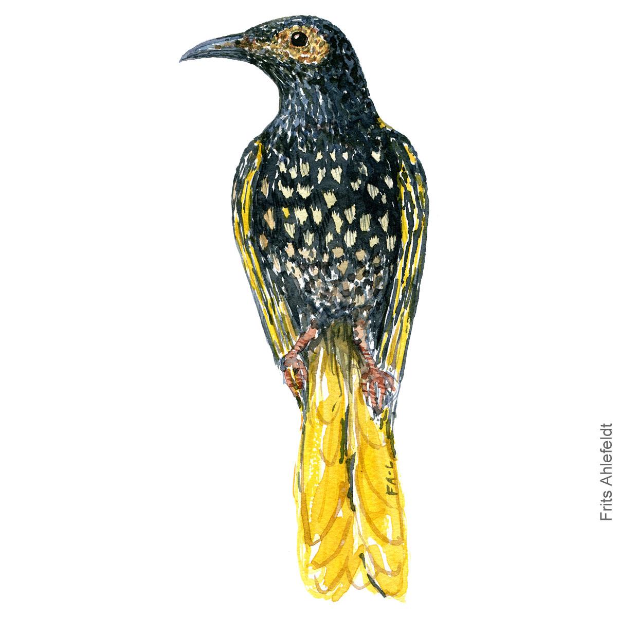 Regent honeyeater - Bird painting in watercolor by Frits Ahlefeldt - Fugle akvarel
