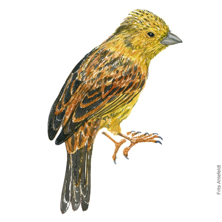 Gulspurv - yellow hammer - Bird painting in watercolor by Frits Ahlefeldt - Fugle akvarel