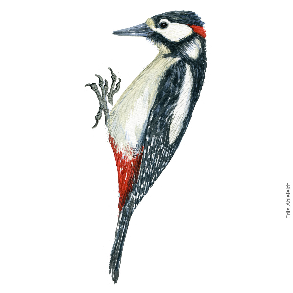 Stor flagspaette - Great spottet woodpecker - Bird painting in watercolor by Frits Ahlefeldt - Fugle akvarel