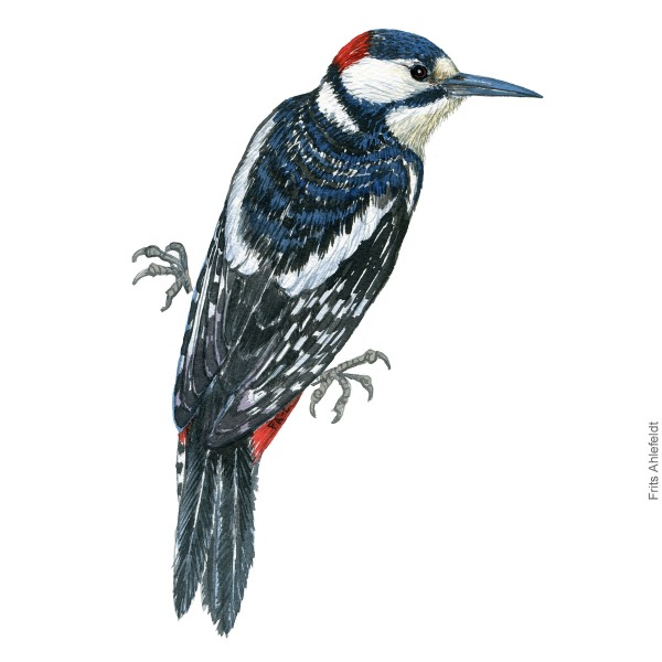 Stor flagspætte - Great spottted woodpecker - Bird painting in watercolor by Frits Ahlefeldt - Fugle akvarel