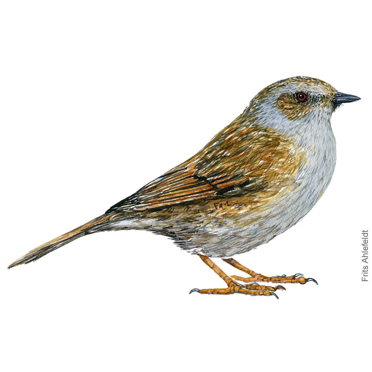 Jernspurv - Dunnock - Bird painting in watercolor by Frits Ahlefeldt - Fugle akvarel