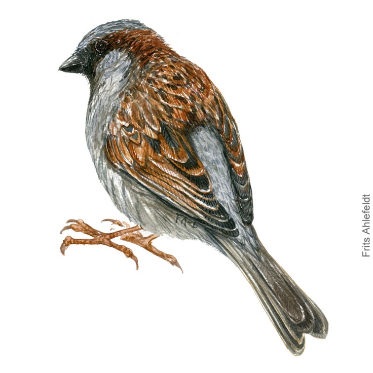 Graaspurv - House sparrow - - Bird painting in watercolor by Frits Ahlefeldt - Fugle akvarel